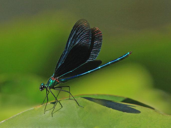 Blauflügelige Prachtlibelle (Foto: H. Schiffbauer)
