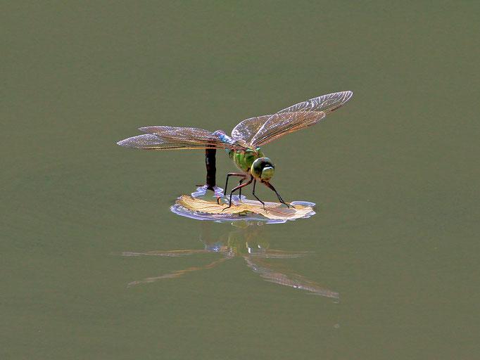 Große Königslibelle bei der Eiablage (Foto: H. Schiffbauer)