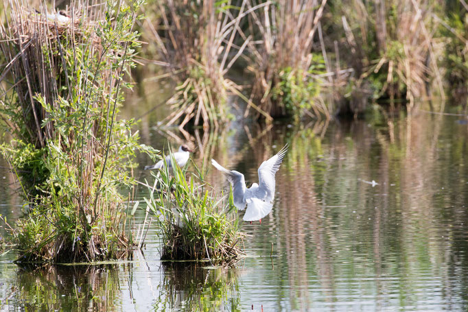Lachmöve beim Anflug auf das Nest  (Foto: B. Budig)