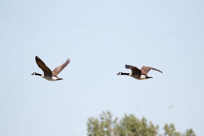 fliegende Kanadagänse (Foto: B. Budig)