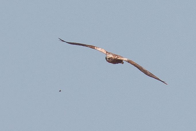 weibliche Rohrweihe (Foto: B. Budig)