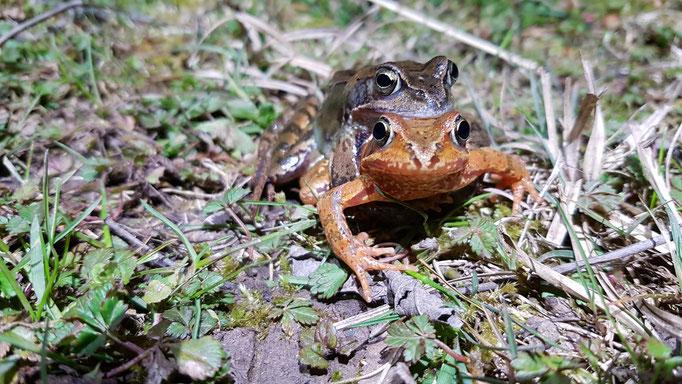 Grasfroschpärchen am Forstwaldteich (Foto: H. Budig)