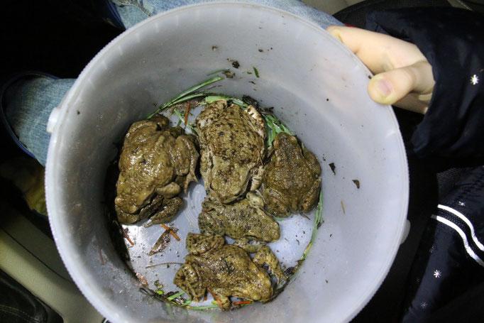 Aufgesammelte Erdkröten (Foto: B. Budig)