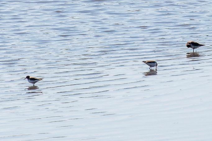 Wasserläufer (Foto: B. Budig)