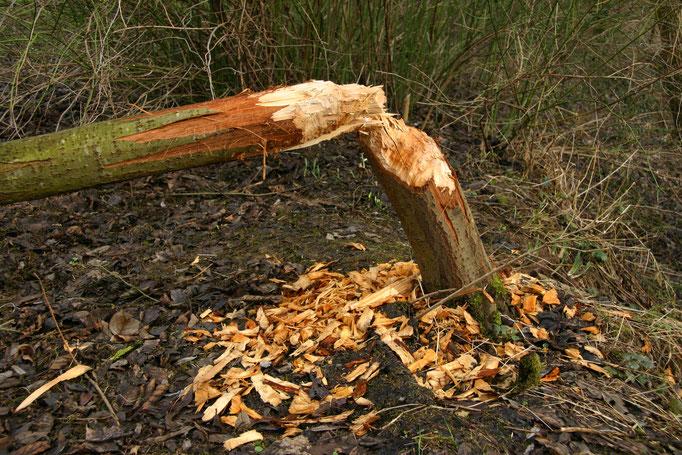 Detailansichtansicht 1 der gefällten Weide. Sie hat etwa einen Stammdurchmesser von 20 cm. Die am Boden liegenden Holzspäne sind sehr grob und sprechen daher für einen kräftigen Arbeiter (Foto: B. Budig, 02.02.2008).