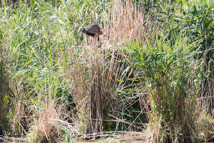 Purpurreiher im Nest  (Foto: B. Budig)