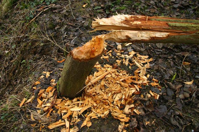 Detailansichtansicht 3 der gefällten Weide. Hier sind die großen Holzspäne gut einzusehen (Foto: B. Budig, 02.02.2008).