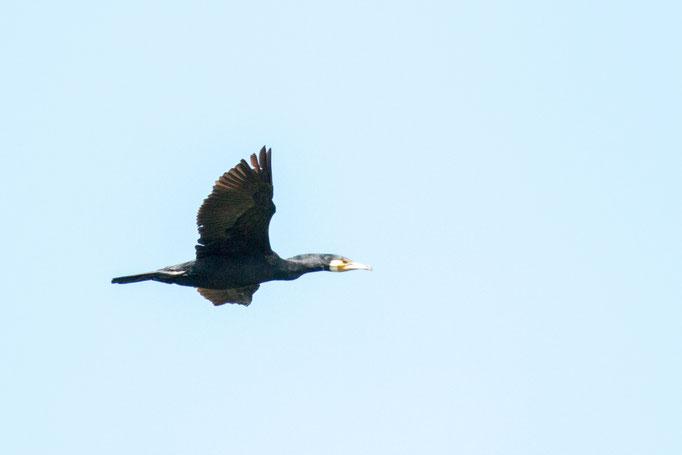 Kormoran im Flug  (Foto: B. Budig)