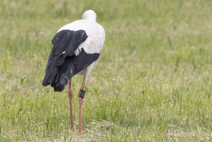 Der Storch mit der Ringnummer: DER AU412 am 10.05.20 (Foto: B. Budig)
