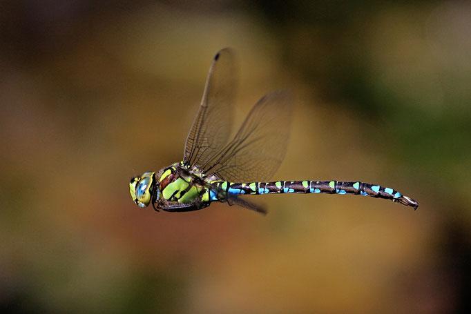 Blaugrüne Mosaikjungfer im Flug (Foto: H. Schiffbauer)