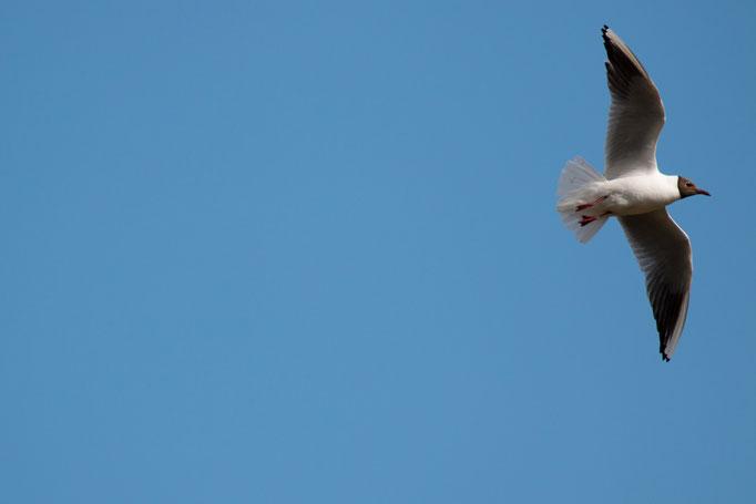 Lachmöve im Flug  (Foto: B. Budig)