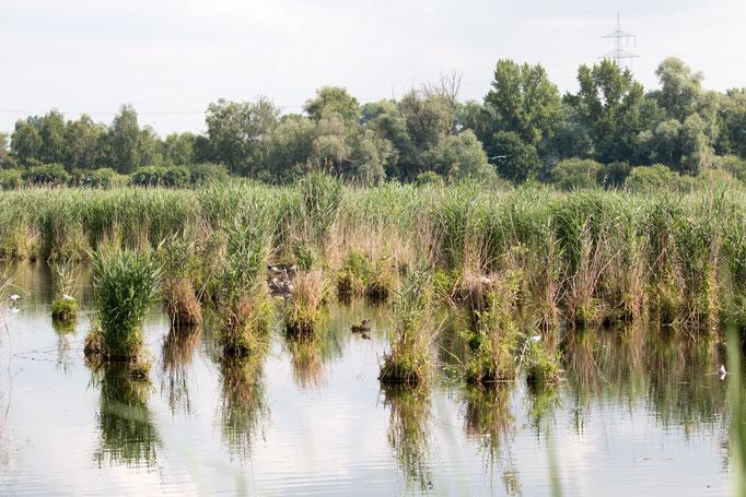 Lachmöven Kolonie  (Foto: B. Budig)