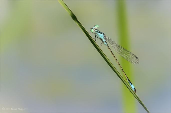 Große Pechlibelle [Ischnura elegans]