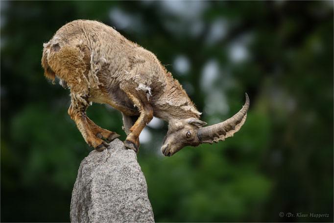 Alpensteinbock [Capra ibex]