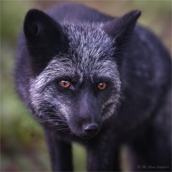 Silberfuchs, Rotfuchs [Vulpes vulpes]