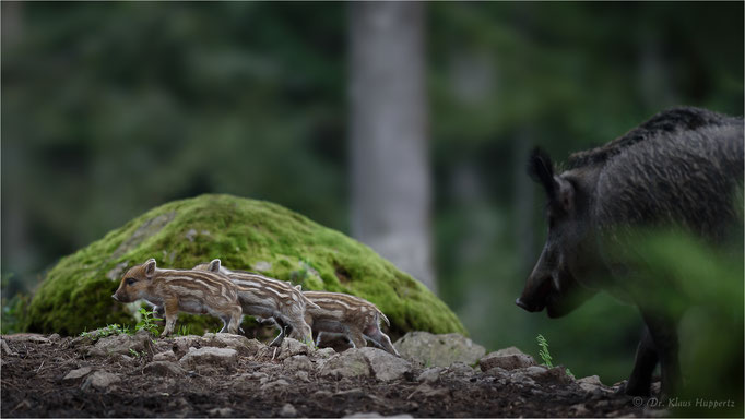 Wildschwein [Sus scrofa]