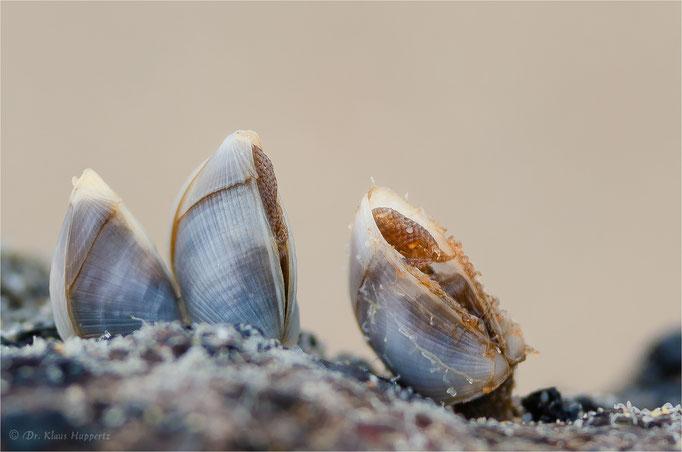 Entenmuscheln [Pedunculata spec.] / wildlife
