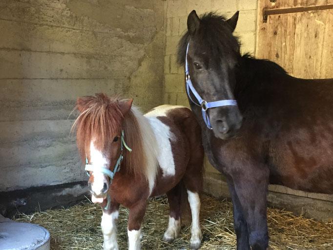 Ponys Stella und Skamander
