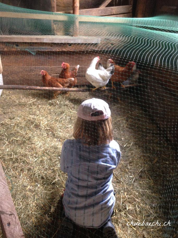 Zähmen und Verwöhnen der Hühner mit viel Geduld