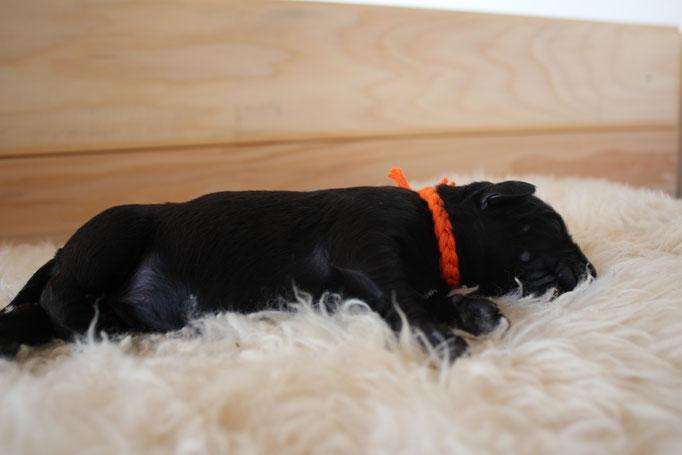 Hündin, Fräulein Orange, 320 Gramm - 630 Gramm