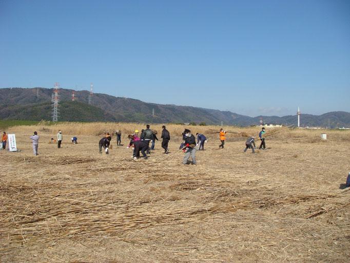 ボランティアによるヨシ刈り風景