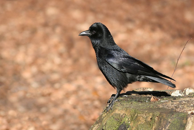 Rabenkrähe (Corvus corone), Carrion Crow © Thorsten Krüger