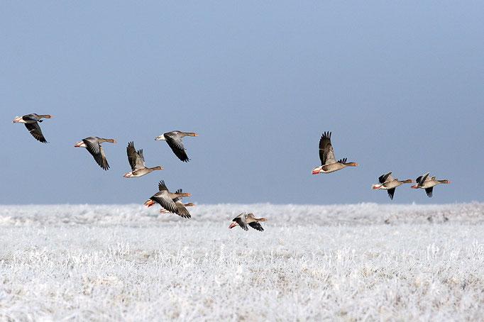 Graugänse (Anser anser), Greylag Goose © Thorsten Krüger