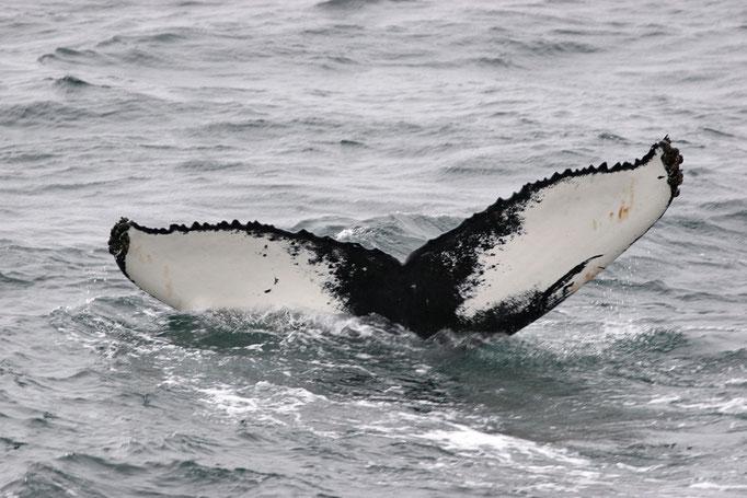 Buckewalfluke (Megaptera novaeangliae), Humpback Whale © Thorsten Krüger