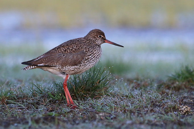Rotschenkel (Tringa totanus), Common Redshank © Thorsten Krüger