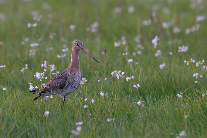 Uferschnepfe (Limosa l. limosa) in Wiesenschaumkraut, female Black-tailed Godwit and Cuckooflowers © Thorsten Krüger