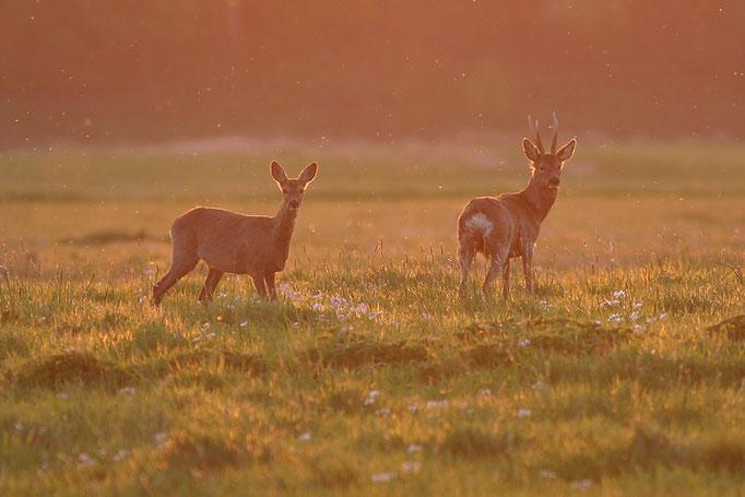 Rehe (Capreolus capreolus), European roe deer © Thorsten Krüger