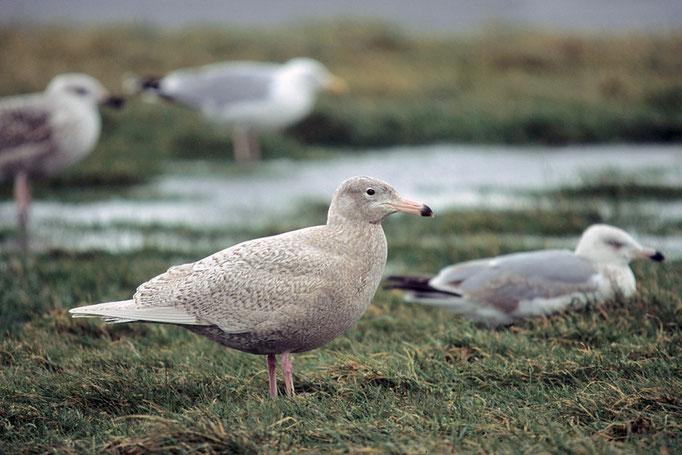 Eismöwe (Larus hyperboreus), Scan from slide, Glaucous Gull; Büsum © Thorsten Krüger