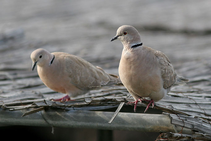 Türkentaube (Streptopelia decaocto), Eurasian Collared Dove © Thorsten Krüger