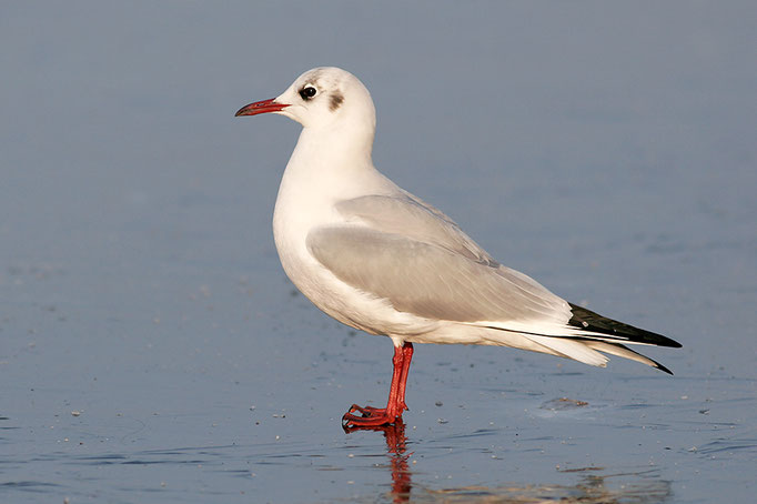 Lachmöwe (Chroicocephalius ridibundus), Black-headed Gull © Thorsten Krüger