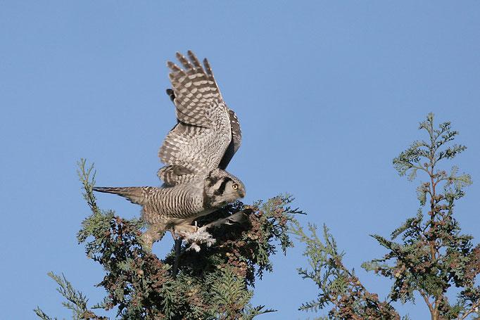 Sperbereule (Surnia ulula), Northern Hawk-Owl; Gristede © Thorsten Krüger