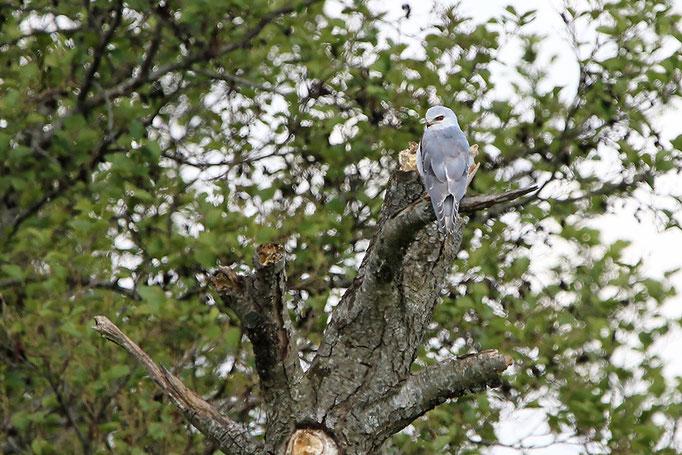 Gleitaar (Elanus caeruleus), Black-winged Kite Thorsten Krüger