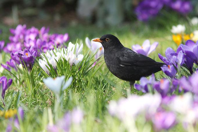 Amsel (Turdus merula), Common Blackbird © Thorsten Krüger
