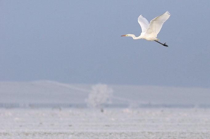 Silberreiher (Ardea alba), Great Egret © Thorsten Krüger
