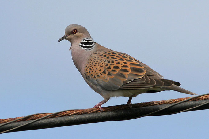 Turteltaube (Streptopelia turtur), European Turtle Dove © Thorsten Krüger
