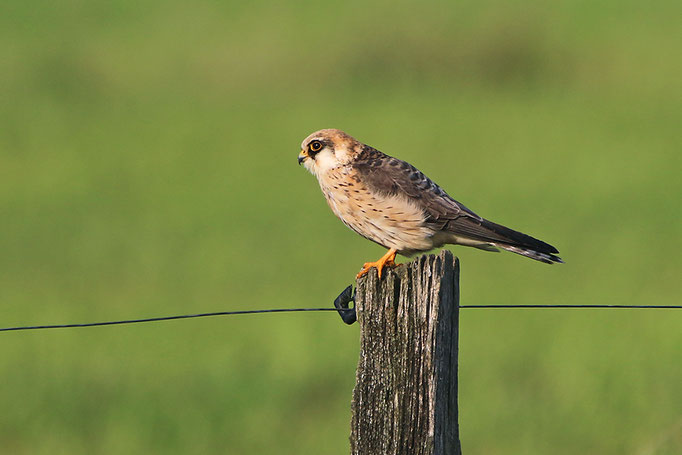Rotfußfalke (Falco vespertinus), Red-footed Falcon; Hekeln © Thorsten Krüger