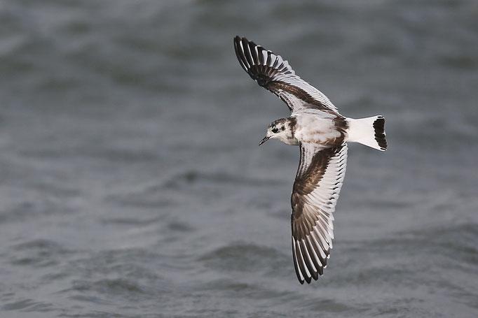 Zwergmöwe (Hydrocoloeus minutus), Little Gull © Thorsten Krüger