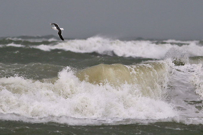 Mantelmöwe (Larus marinus), Great Black-backed Gull © Thorsten Krüger