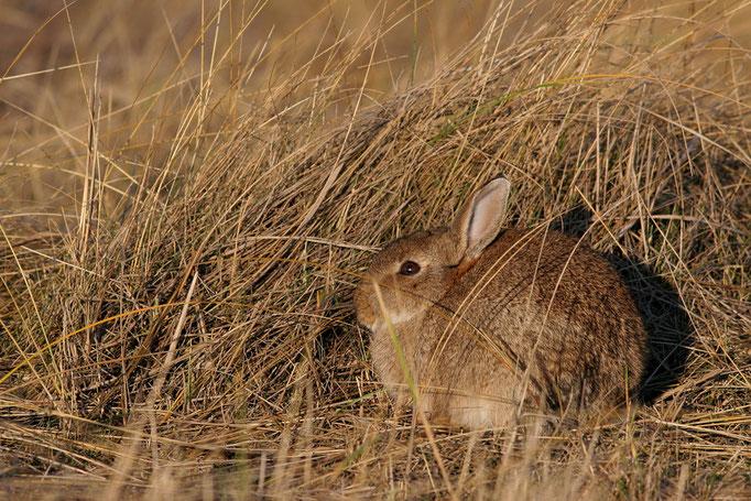 Wildkaninchen (Oryctolagus cuniculus), European Rabbit © Thorsten Krüger