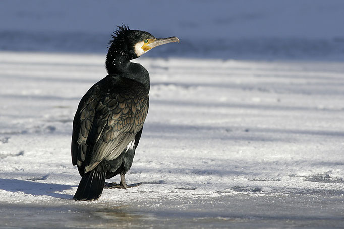 Kormoran (Phalacrocorax carbo), Great Cormorant © Thorsten Krüger