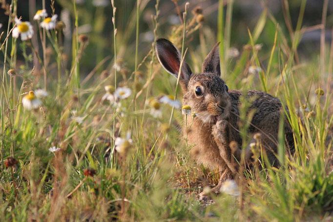 Feldhase (Lepus europaeus), European Hare © Thorsten Krüger