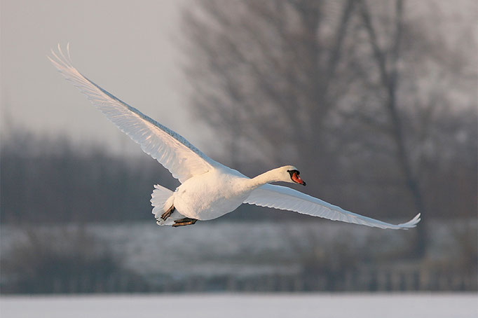 Höckerschwan (Cynus olor), Mute Swan © Thorsten Krüger