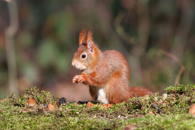 Eichhörnchen (Sciurus vulgaris), Eurasian Red Squirrel  © Thorsten Krüger