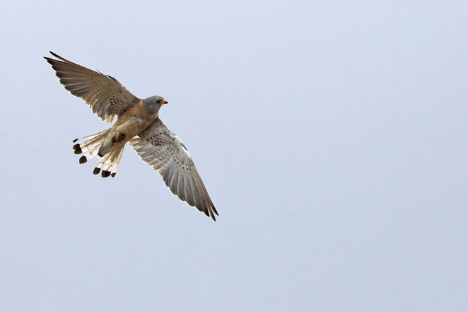 Rötelfalke (Falco naumanni), Lesser Kestrel © Thorsten Krüger