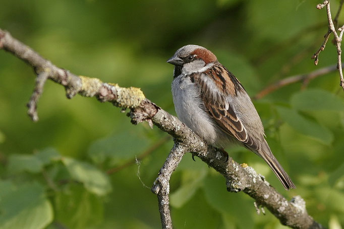 Haussperling (Passer domesticus), House Sparrow © Thorsten Krüger