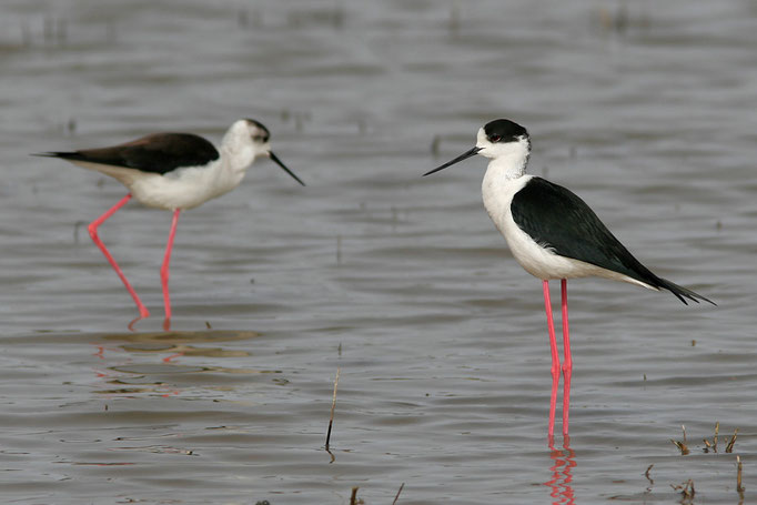 Stelzenläufer (Himantopus himantopus), Black-winged Stilt © Thorsten Krüger